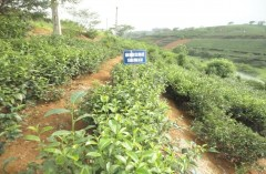 Kết quả nghiên cứu chọn tạo giống chè có hàm lượng axit amin và đường cao cho chế biến chè xanh và chè Ôlong
