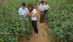 Trồng cà chua trái vụ ở Sa Pa